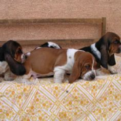 Bassett hound puppies!!!!!!!!!!!!!!!!!!!!!
