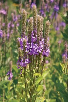 Verbena stricta Hoary Vervain  Sun:	Full  Soil:	Sand,Loam  Moisture:	Dry,Medium  Height:	2'-4'  Bloom:Blue Jul-Sep  The robin's egg blue spires are a real standout in the late summer prairie. An important nectar source for butterflies, and the leaves are the larval host food for the Common Buckeye Butterfly. The seeds are important for many small birds and mammals. Very drought resistant, and non-aggressive. Hardy to Zones 3 - 8.