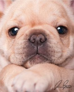 Frenchie Puppy Face...Eric or Chelsea needs one of these so I can squeeze it!!!