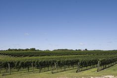 One of the many world-class vineyards found throughout the Hamptons and the North Fork of Long Island, NY. Photo by Brown Harris Stevens of the Hamptons.