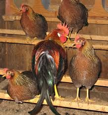 offer chook house, chicken hutch, chicken shed, chicken cages, chook ...