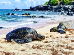 One of the coolest experiences of my life happened in Māui. I finally got to swim with sea turtles!!!   and it was such peaceful experience. These are truly such majestic creatures. If you know me then you know Im all about protecting our planet  and after this event and seeing all the efforts on the islands to eliminate plastic and clean up the beaches - I realized just how precious and important our marine life is. So Ive joined the incredible @sand_cloud team  who are fighting hard to…