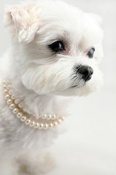 dog with pearls
