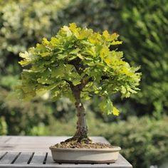 Chêne bonzai