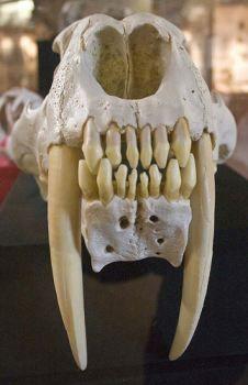 Sabertooth tiger skull.