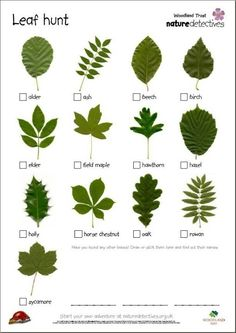 Ticklist of common tree leaves. Get kids outdoors exploring with this fresh activity from the Woodland Trust's nature detectives website. Bring the outdoors into your classroom with this inspiring activity from the Woodland Trust's nature detectives we. Nature Hunt, All Nature, Walking In Nature, Nature Study, Forest School Activities, Nature Activities, Outdoor Activities For Preschoolers, Science Nature, Outdoor Education