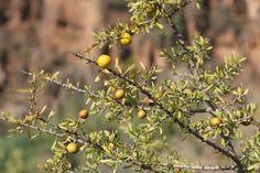 Naša náročná cesta za arganovým olejom priamo z Maroka, alebo ako sme spoznali arganový olej známy aj ako tekuté zlato z Maroka. Prírodný zázrak, ktorý sa volá arganový olej, Marocký elixír krásy a zdravia.