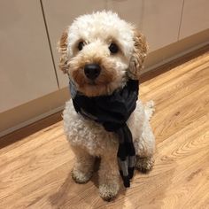 Poodle Scarf