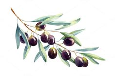 Watercolor olive by elyaka on @creativemarket