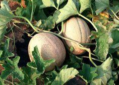 Como cultivar melon -Huerto de Urbano http://www.huertodeurbano.com/como-cultivar/melon/