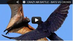 CRAZY AIR BATTLE - BATS VS CROWS! Watch here: http://awesomeanimals001.blogspot.co.il/2013/01/crazy-air-battle-bats-vs-crows.html