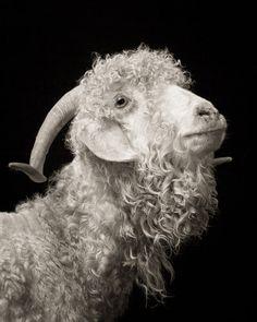 Chattel - Angora Goat