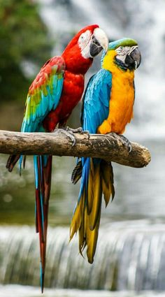 Macaws by Jeff Kitts on – Parrot Tropical Animals, Tropical Birds, Exotic Birds, Colorful Birds, Exotic Pets, All Birds, Cute Birds, Pretty Birds, Beautiful Birds