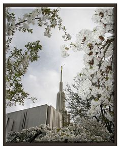 framed by blossoms - LDS Seattle Temple
