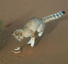 Sand Cat Population - Bing images Sand Cat, Diet Plans For Women, Cats, Animals, Bing Images, Gatos, Animales, Animaux, Animal