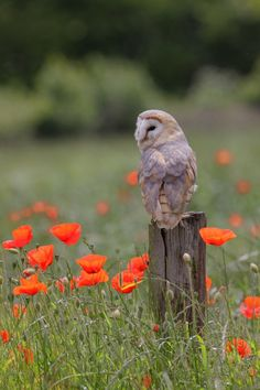 An owl perched in a field of poppies