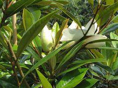 magnolia seed pod - Google Search