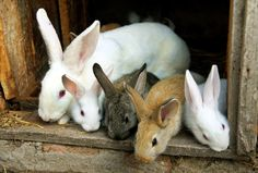 A beginner's guide to raising rabbits, including a rabbit barn, pens, feeders and waterers, breeding stock, care and feeding, breeding, butchering, and meat sales.
