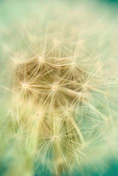 dandelion seeds...the color in this shot is breathtaking...