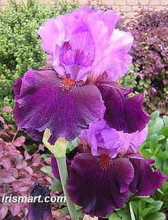 Tall Bearded Iris 'Romantic Evening' (Iris germanica)