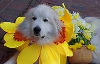 More Daffy Dogs, Daffodil Festival
