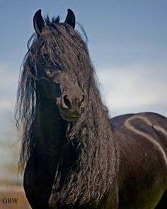 Google Image Result for http://www.equinejournal.com/ckfinder/userfiles/images/3-feat-friesian.jpg