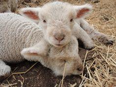 Babydoll Sheep - soo cute!