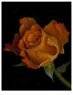 untitled From country France. Paris City, Orange Roses, World Photography, Beautiful Roses, Professional Photographer, Wallpaper, Floral, Flowers, Plants