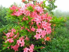 Searching for Spring Flowers in Great Smoky Mountains National Park  - Azaleas on Gregory Bald