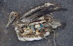 A dead albatross chick photographed on Midway Atoll, a strip of sand and coral in the North ... / Credits: Chris Jordan, www.chrisjordan.com