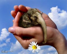 Obvious FAKE pygmy  great photoshopping