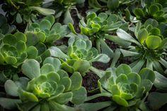 Nunca son suficientes las suculentas en nuestros jardines. Cabbage, Vegetables, Plants, Food, Succulents, Gardens, Veggie Food, Flora, Cabbages