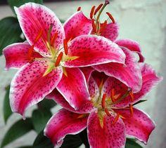 My favorite flower. Smells so amazing. Lilly Flower, My Flower, Flower Power, Tiger Lilly Tattoo, Lillies Tattoo, Best Friend Wedding, I Am Awesome, Amazing, Stargazing
