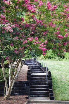 Are crepe myrtle roots invasive enough to cause problems? You don't have to worry about this issue because crepe myrtle tree roots are not invasive. This article has additional information on this topic to help ease your mind.
