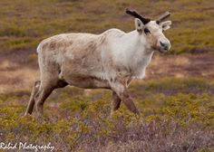 Canadian Geographic Photo Club - NFLD Caribou