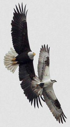 Bald Eagle, chasing an Osprey (Pandion halaetus carolinensis)