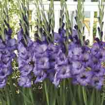 Twilight Gladiolus- An exquisite blue-violet glad displaying harmonizing purplish-black throats in each floret. Hamonizes, yet offers striking contrast with all other colors.