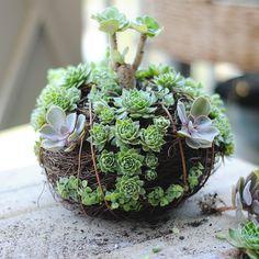 kokedama succulent