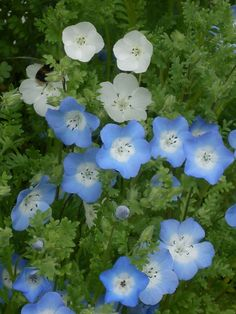baby blue eyes flower | Nemophilia baby blue eyes flower