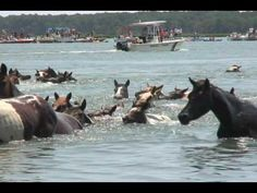 Chincoteague Pony Swim 2010. This has been on my bucket list want to go and see it.