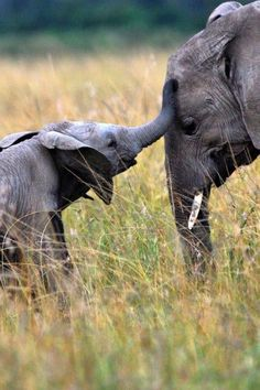 Baby and Mom Elephant keeping in touch.