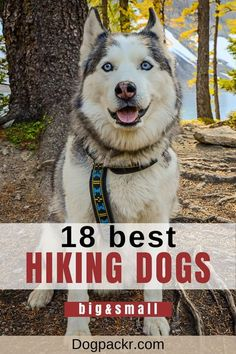 One of the reasons why many people get dogs is to help stay active! Dogs make fantastic companions when you're hitting the trails, though some breeds tend to do better while hiking than others. In this article I share the 18 best dogs for hiking and camping. #hikingdog #activedog #campingdog Hiking Dogs, Camping And Hiking, Backpacking, Rat Dog, Hyper Dog, Excited Dog, Norwich Terrier, Dog Backpack, Stay Active