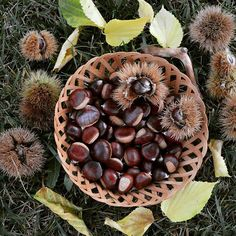This is our chestnut harvest when we went to the Cévennes.I roast a few everyday.They are delicious and it smells so good in the house. Récolte de châtaignes dans les Cévennes. #cevennes #france #chestnut #châtaigne #simplelife #simpleliving #naturelovers #nature #photography #photo #foodphoto