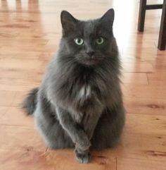 Smokey Cat | Pawshake