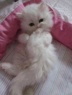 Fluffy white kitten. I would name you sugar plum lol.