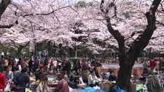 Top 14 Best Places to View Cherry Blossoms in Tokyo