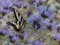 CA native: A pale Swallowtail butterfly on a Salvia clevelandii alpine. Spring Landscape, Landscape Design, Front Yard Plants, California Native Plants, Flying Flowers, Landscape Services, How To Attract Hummingbirds, Drought Tolerant Plants, Flower Show