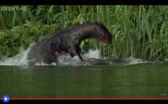 Le lontre giganti contro il caimano del Pantanal La curiosa dicotomia dell'ippopotamo africano risulta essere, ormai, piuttosto nota: un animale apparentemente goffo, pacifico, dall'aria sonnolenta. Eppure terribilmente pericoloso, in quanto territ #animali #lontre #brasile #predatori