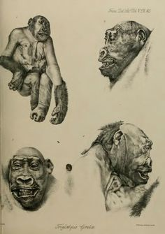 VI. Confributions to the Natural History of the Anthropoid Apes. No. VIII. On the External Characters of the Gorilla (Troglodytes Gorilla, Sav.) - BioStor
