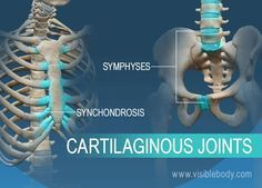 Synchondrosis And Symphyses Two Types Of Cartilaginous Joints Joints Anatomy Bone And Joint Joint A kind of articulation in which a layer or plate of cartilage so intervenes between the apposed surfaces of the. pinterest